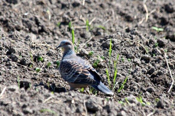 Weidevogelpopulatie VK gehalveerd door intensieve landbouw