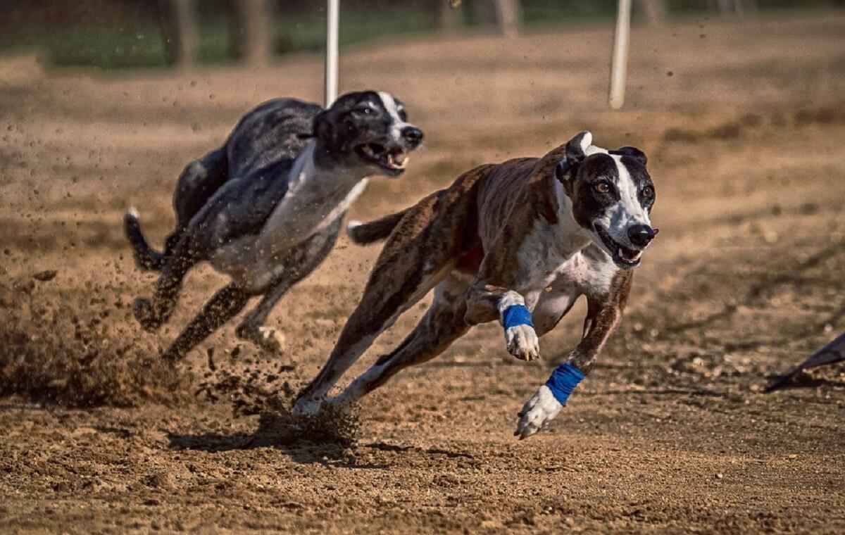 laatste greyhoundrace in Florida