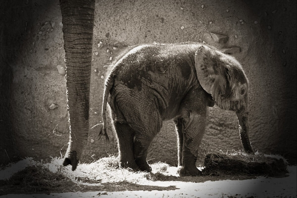 China negeert afspraken CITES over handel in bedreigde diersoorten
