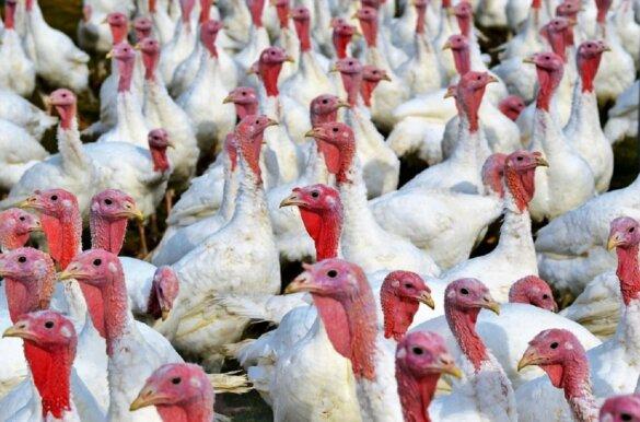 18.000 kalkoenen vergast in Moergestel