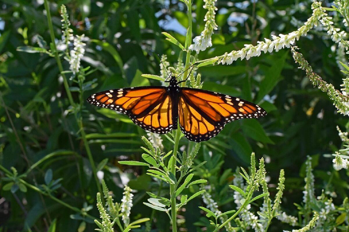 bescherming monarchvlinder geen prioriteit voor VS