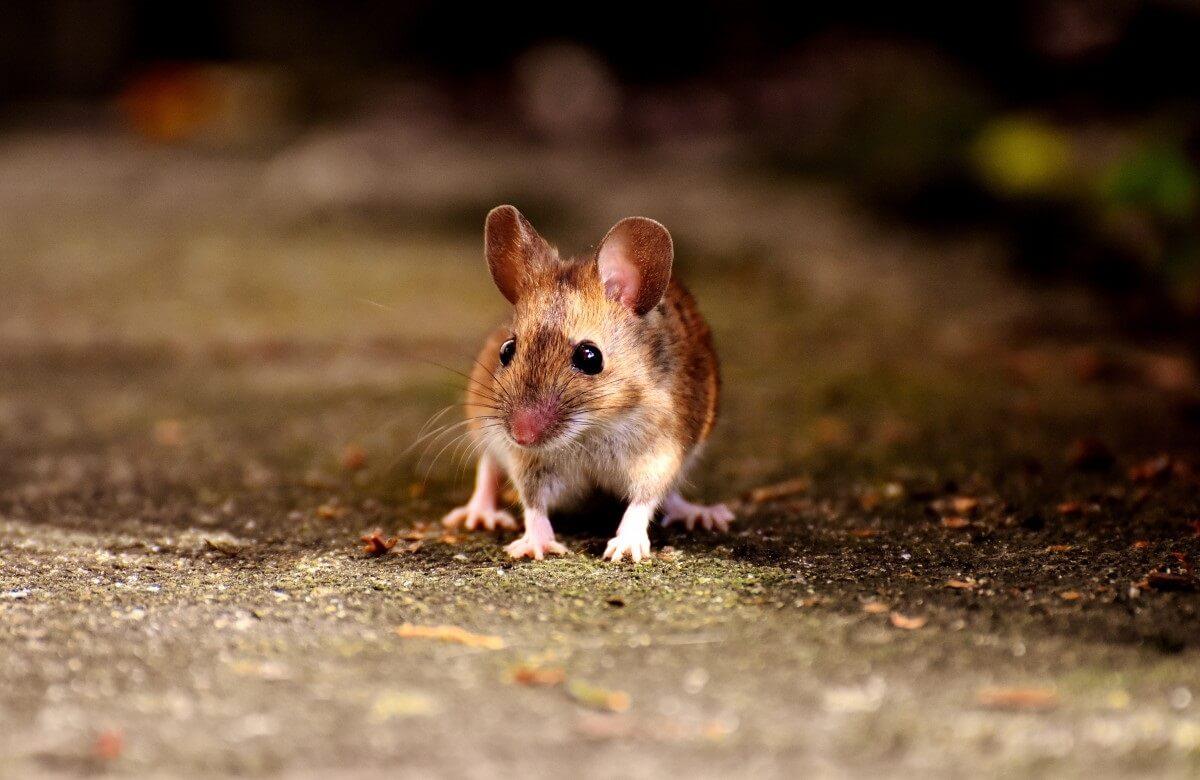 hersengrootte zoogdieren beïnvloedt populatiedichtheid