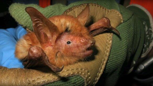 nieuw ontdekte oranje vleermuissoort in Guinee