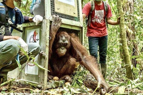 vijf orang-oetans vrijgelaten na leven als huisdier