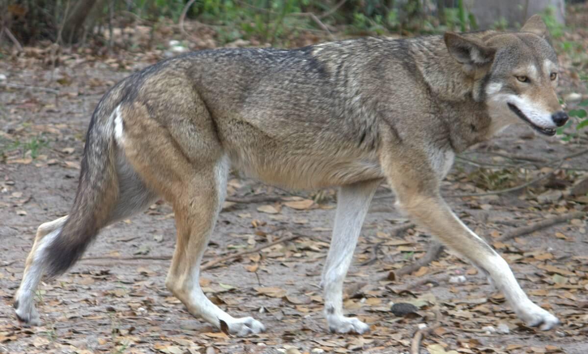 Rode wolven in gevangenschap terug naar natuur tegen uitsterven