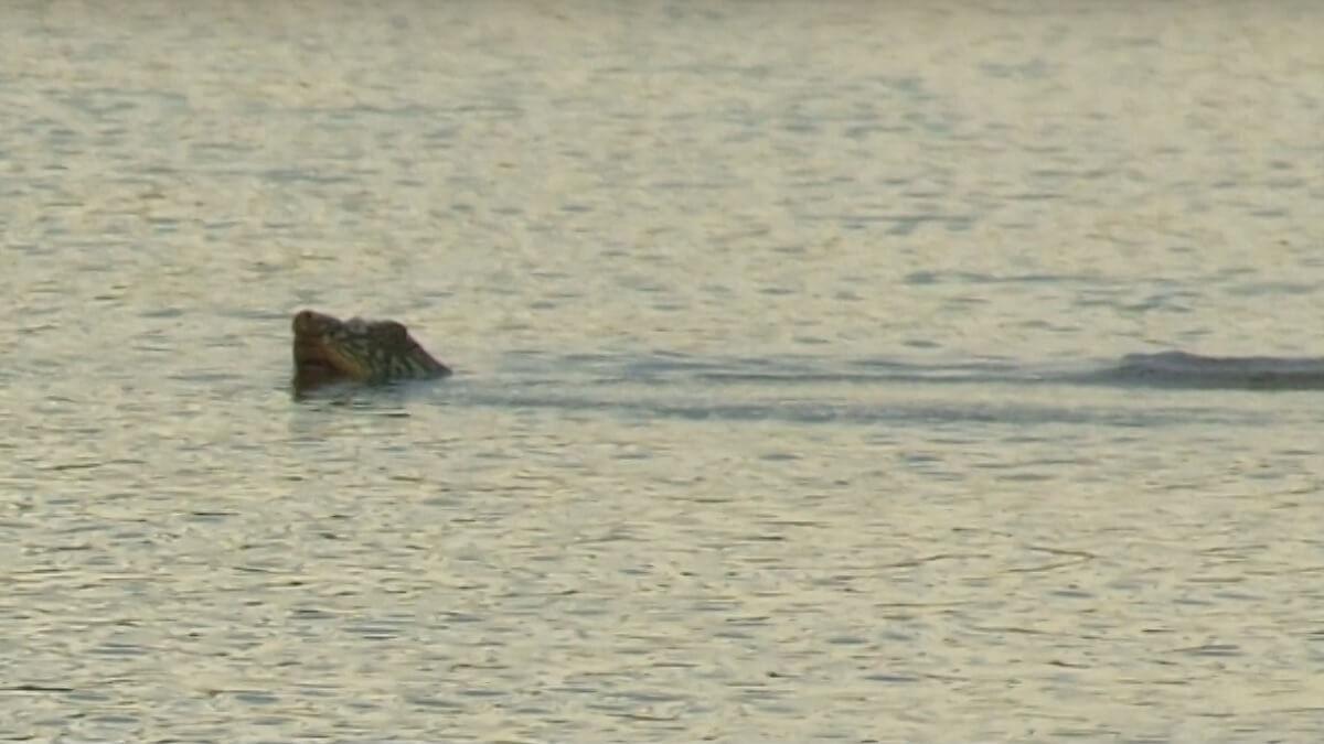 swinhoe schildpad Yangtze-weekschildpad