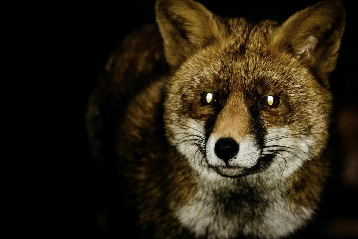 einde nachtelijke jacht in Zuid-Holland op vossen en konijnen