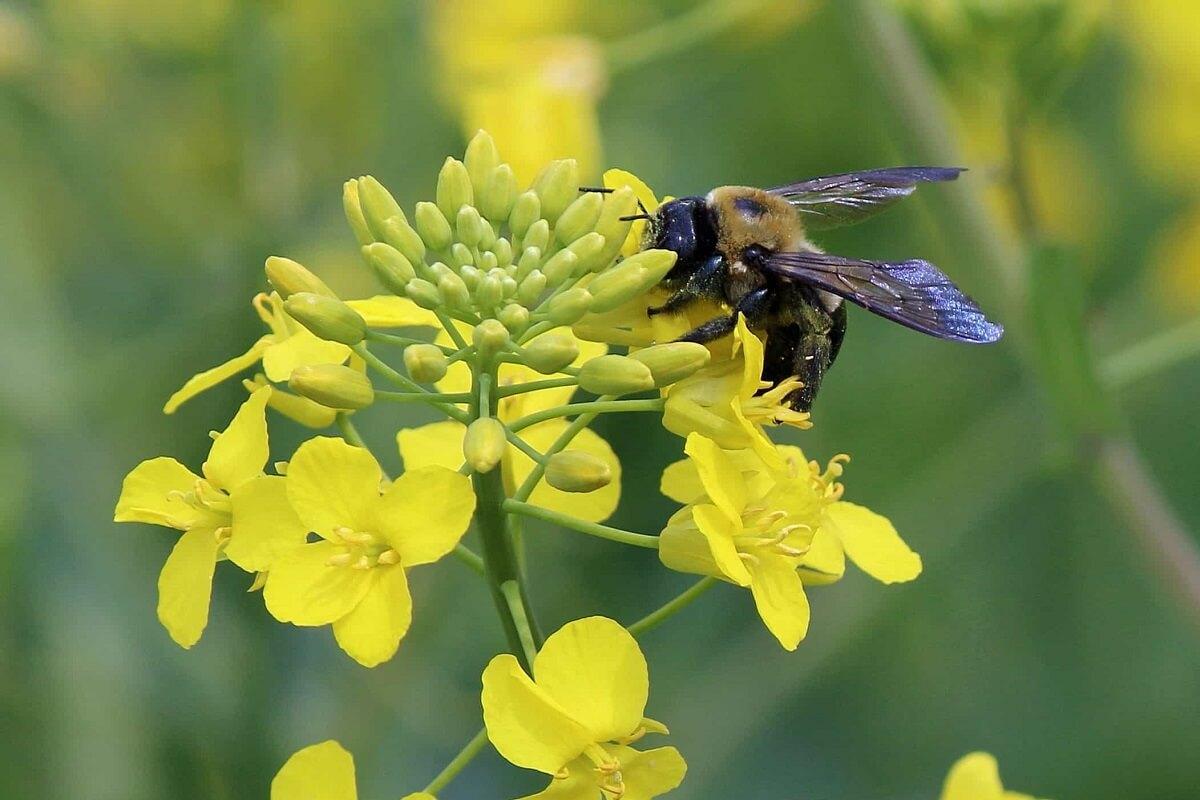 Britten breken belofte en heffen verbod op bijendodende pesticide op