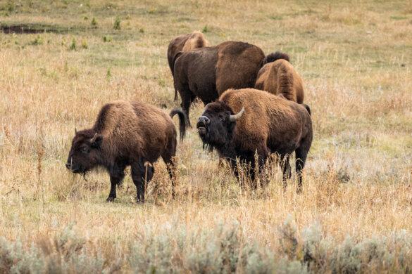 Mexicaanse bizons