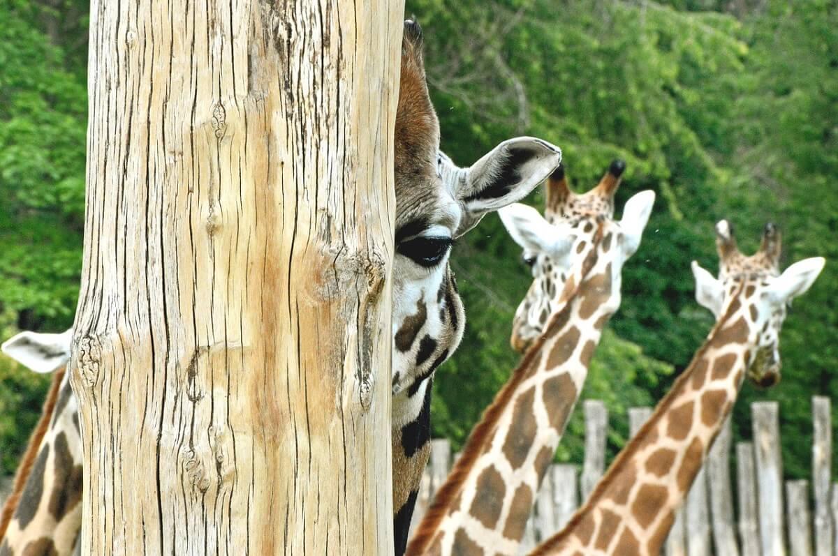 Europese dierentuinen aangespoord niet langer giraffen te houden