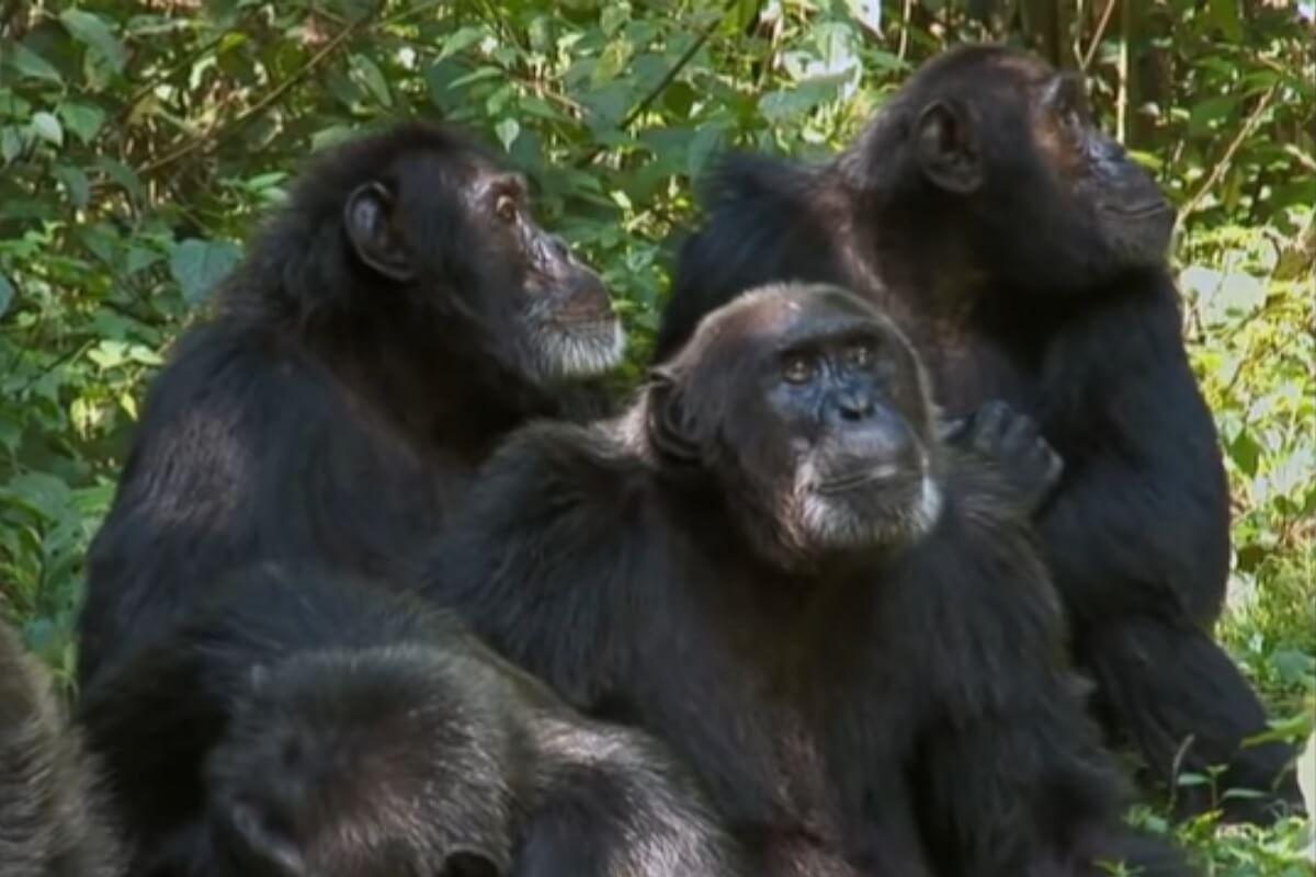 bevriende chimpansees vechten samen om rivalen te bestrijden