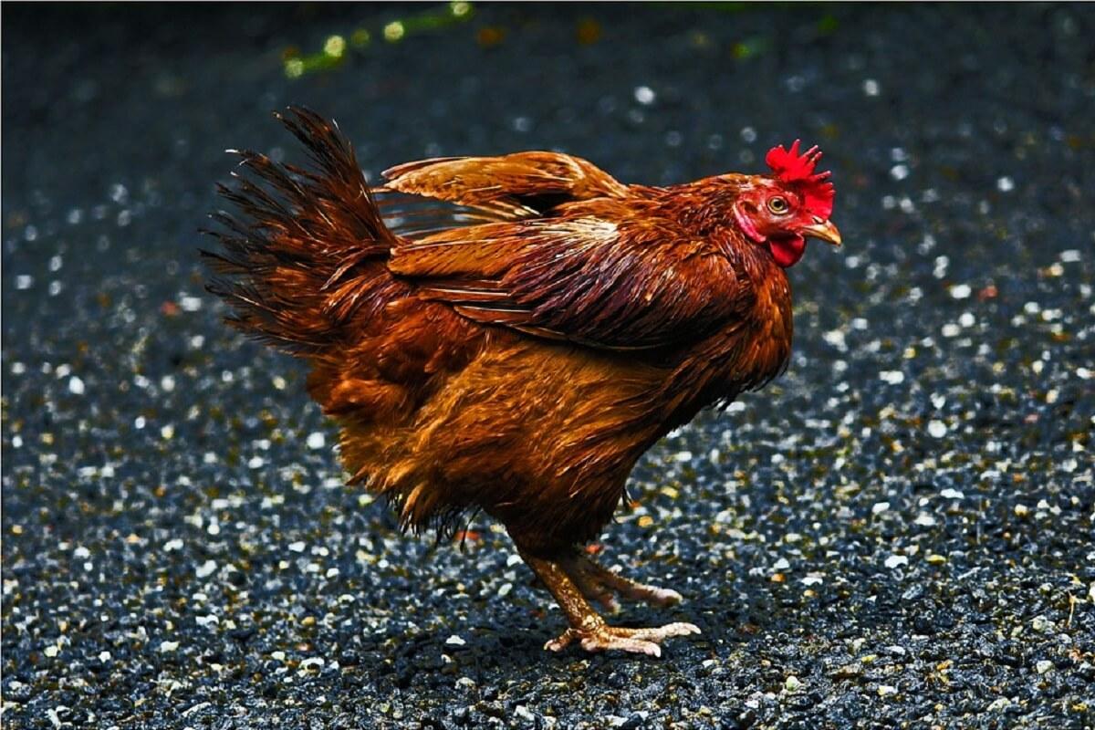 Zoek diervriendelijke oplossing voor gedumpte hanen en hennen in Zuilen