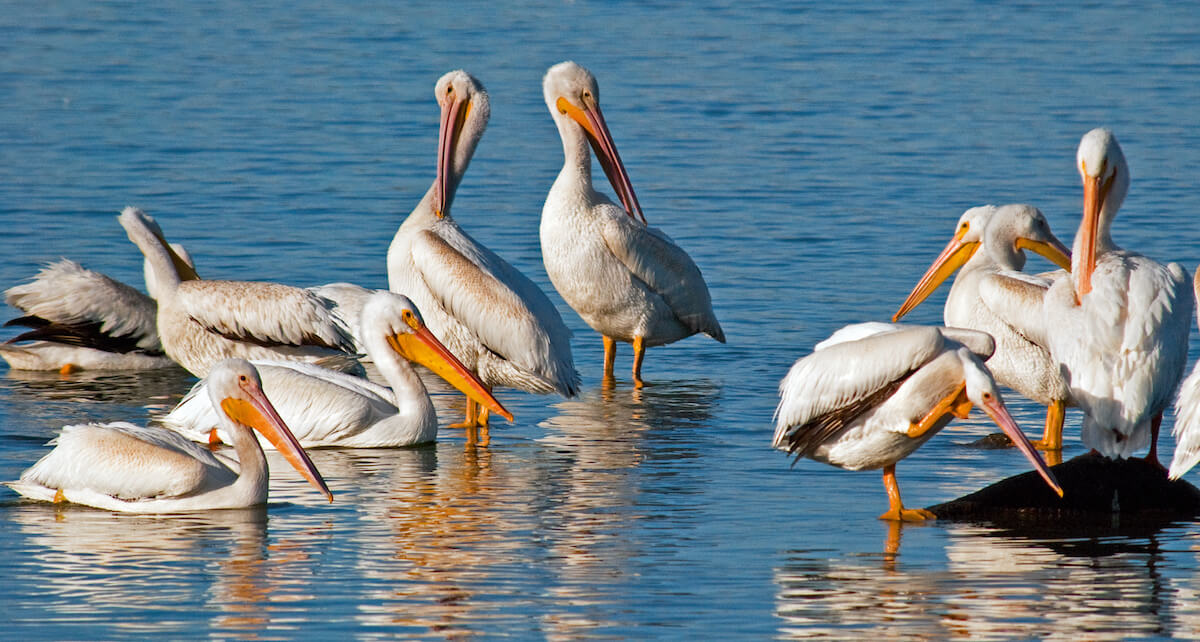 750 pelikanen