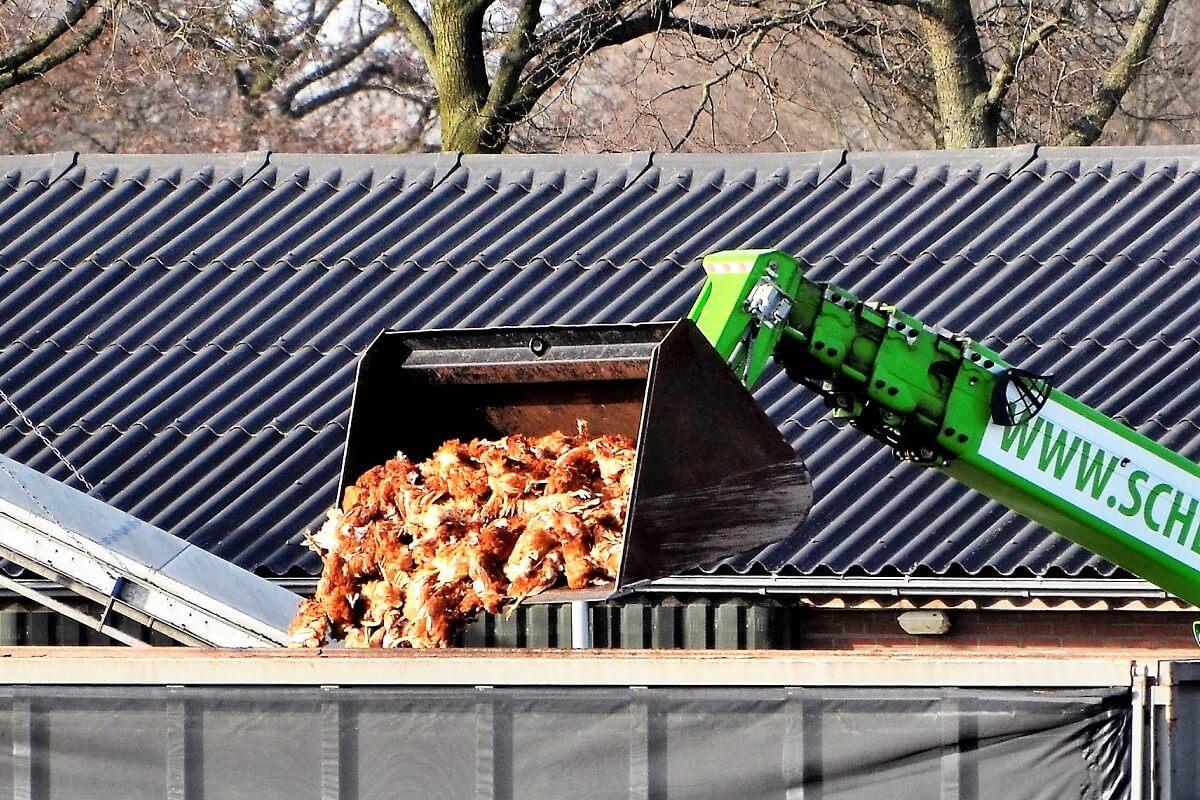 130.000 kippen vergast in Sint-Oedenrode om vogelgriep