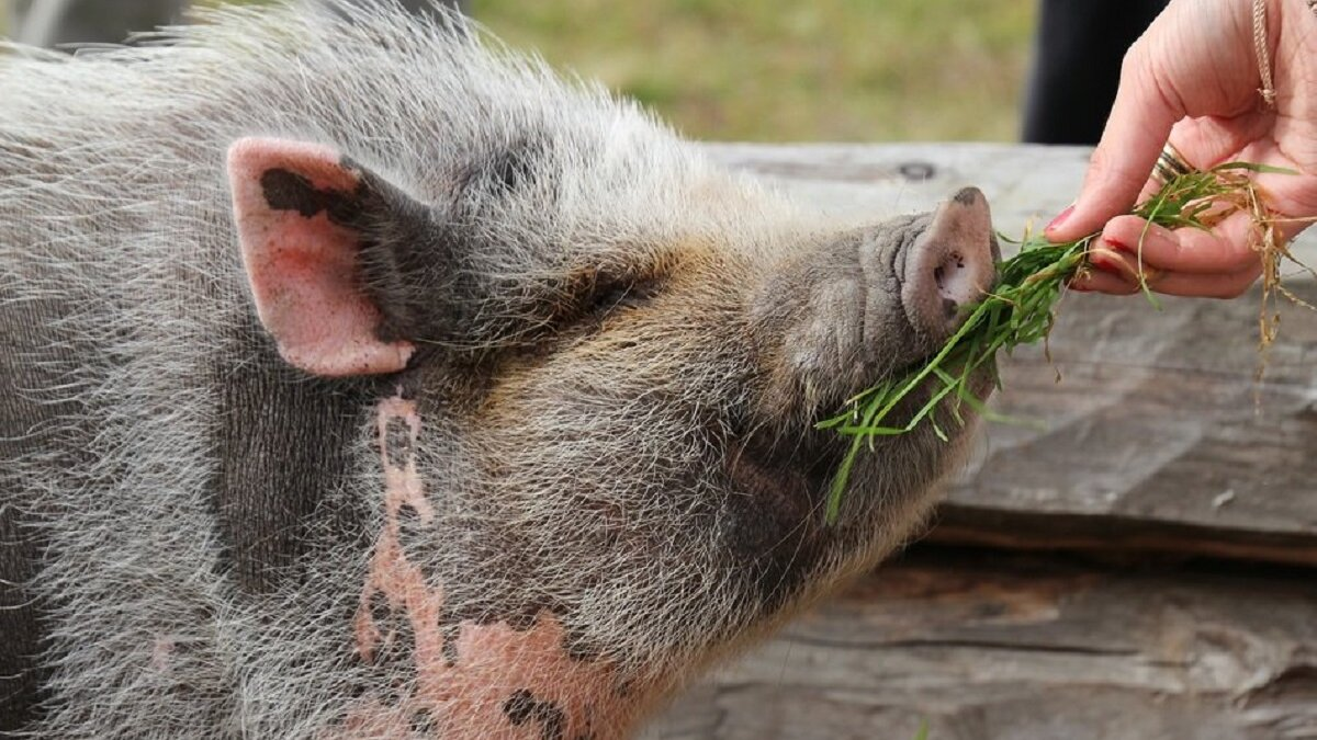 Varkens zijn intelligenter dan we dachten