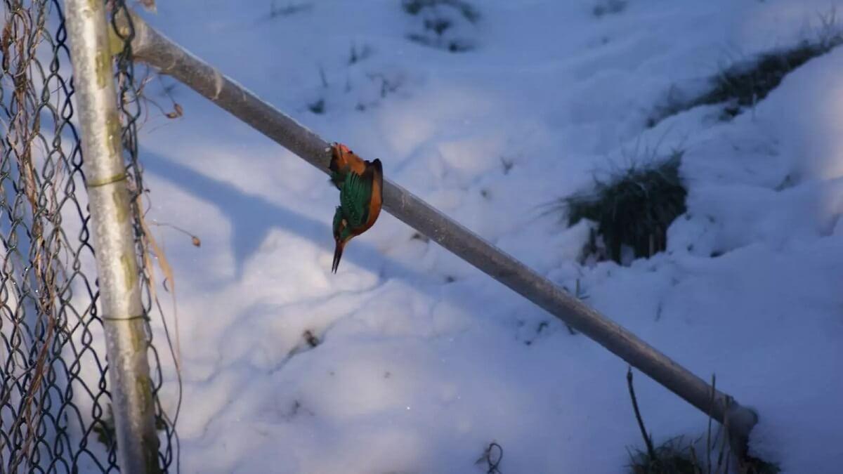 vastgevroren ijsvogel gered door vogelaar Cees van den Brink