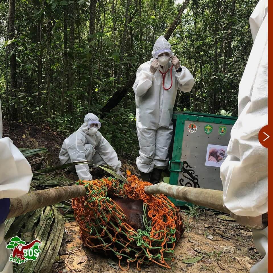 Orang-oetan gered van gedwongen boksgevechten terug naar vrijheid