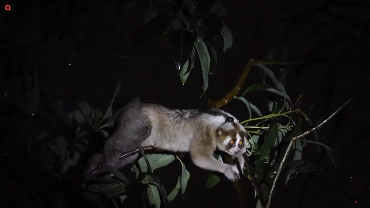 30 plompe lori's vrijgelaten na leven als huisdier