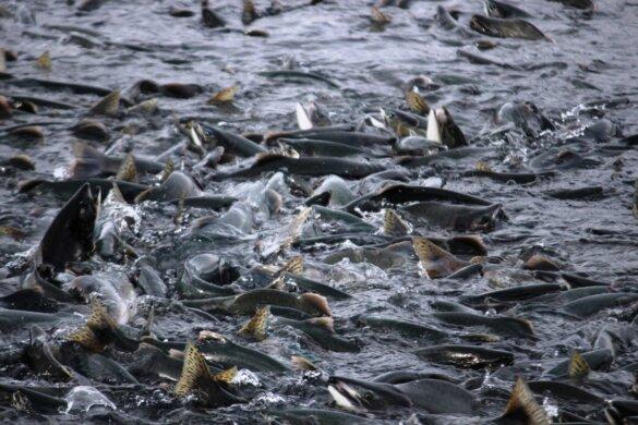 zalmkwekerij verwoest zeeleven