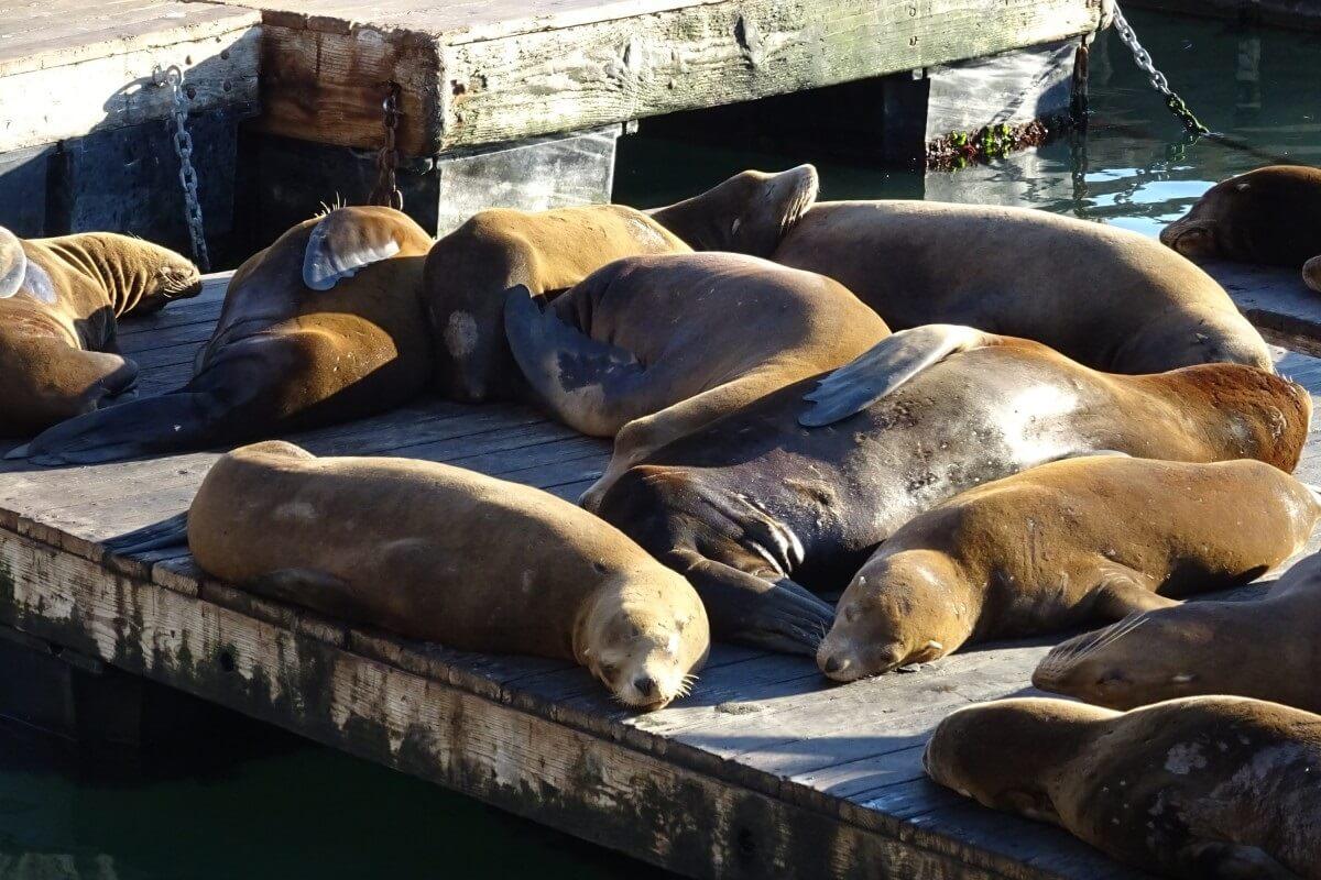 Zeeleeuwen sterven aan kanker door chemicaliën