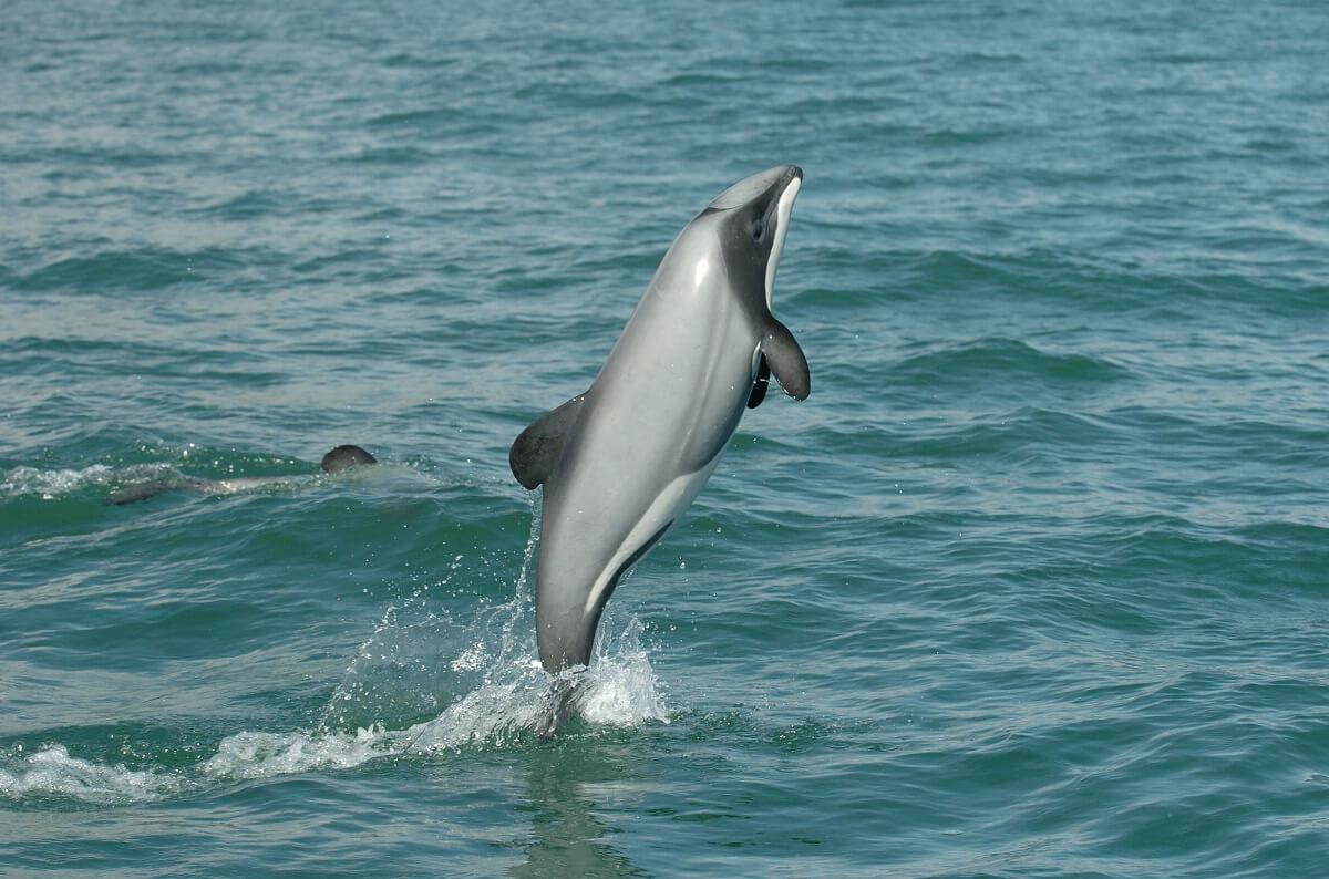 Maui dolfijn