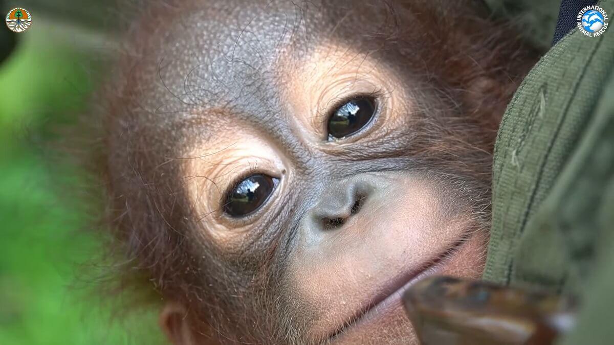 Baby orang-oetan Bomban gered van leven als huisdier