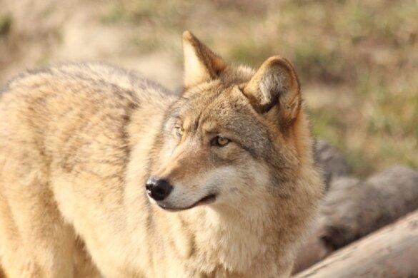 Drachtige wolvin doodgereden