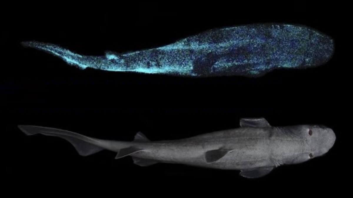 Grootste lichtgevende haai ontdekt