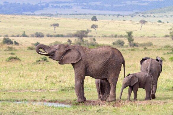leefgebied olifanten