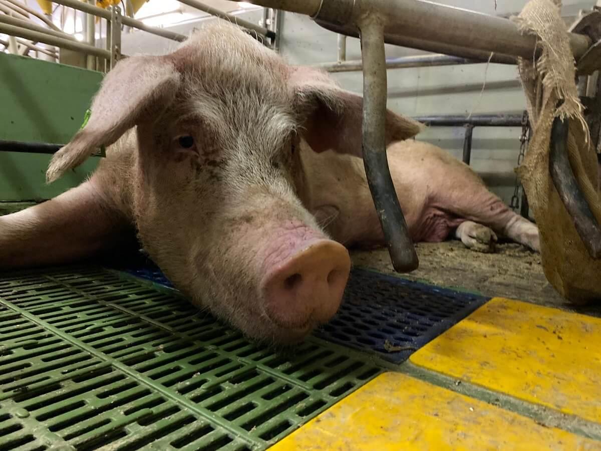 Amendement Wet dieren begin van einde vee-industrie?