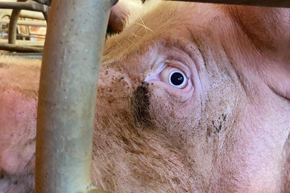 300 varkens slachtoffer stalbrand Mantinge