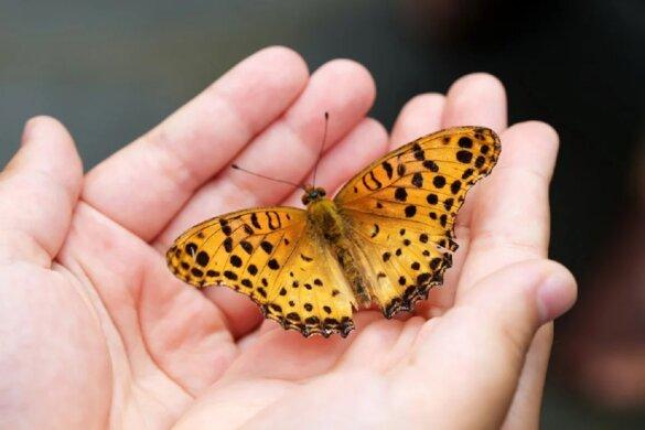 450 vlindersoorten met uitsterven bedreigd in de VS