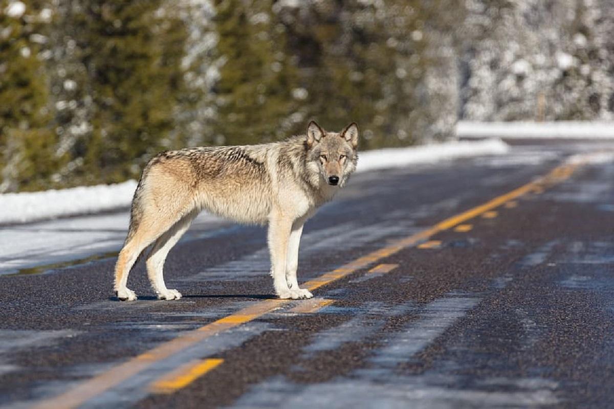 Ruim 200 wolven gedood tijdens jachtseizoen in Wisconsin