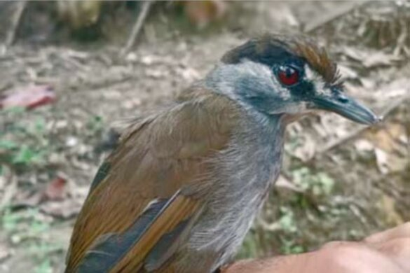 Uitgestorven zwartbrauwmuistimalia na 180 jaar herontdekt