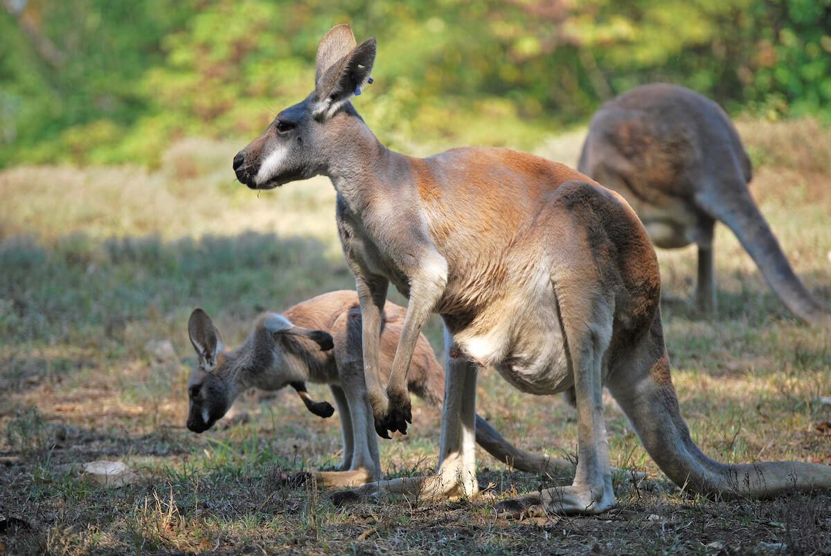 wilde kangoeroes