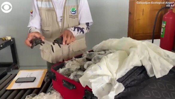 Koffer met 185 schildpadden gevonden op Galapagoseilanden