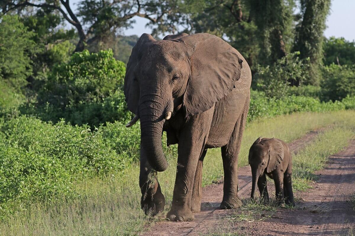 Zimbabwe verkoopt jachtrechten op bedreigde olifanten