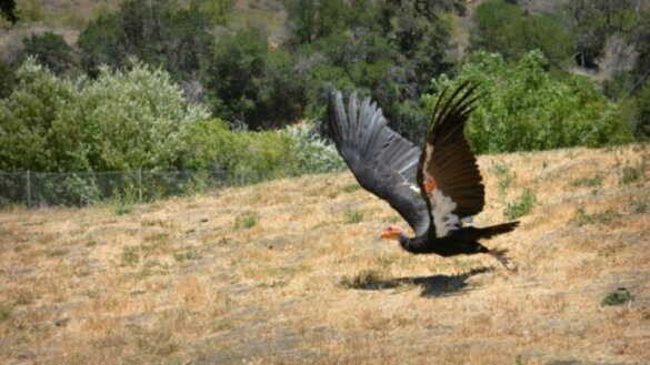 Californische condor