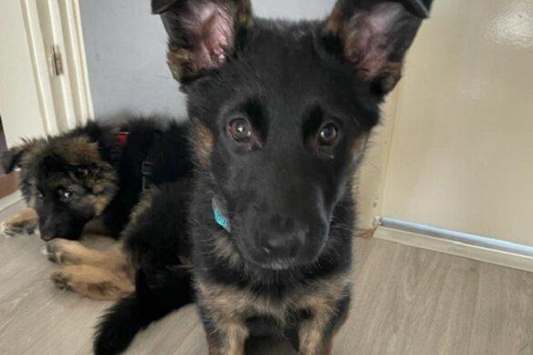 NVWA doet inval bij malafide puppyhandelaar