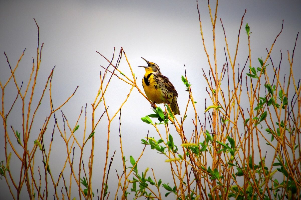Afname vogelpopulatie Noord-Amerika schreeuwt om oplossing