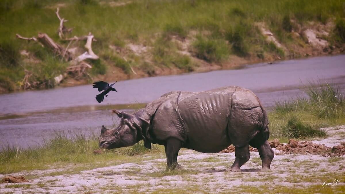 Neushoornpopulatie Nepal stijgt met 16 procent