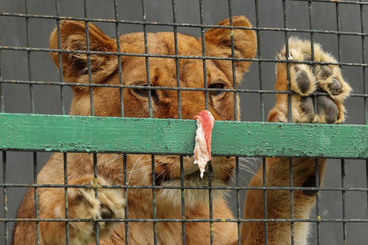 Senatoren VS willen verbod privébezit leeuwen en tijgers