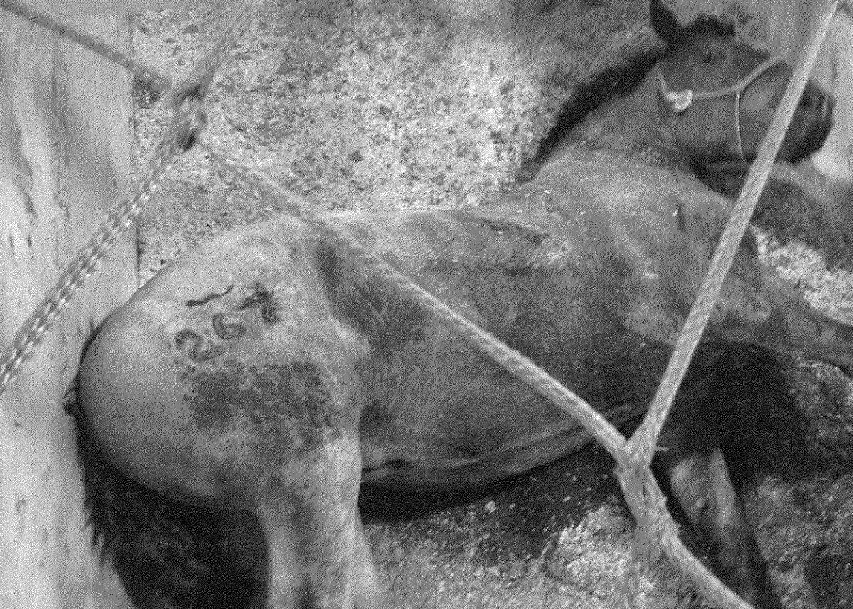 export van levende slachtpaarden