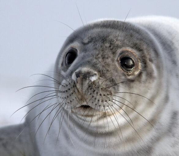 zeehondenjacht in Canada