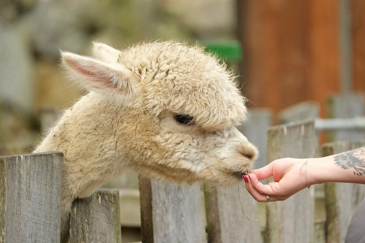 Alpacaboerderijen