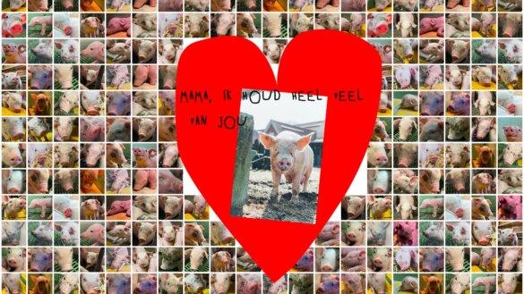 De vee-industrie heeft geen plek voor moederliefde