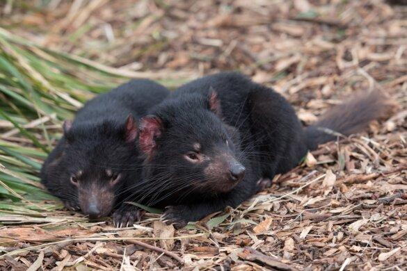 Tasmaanse duivels