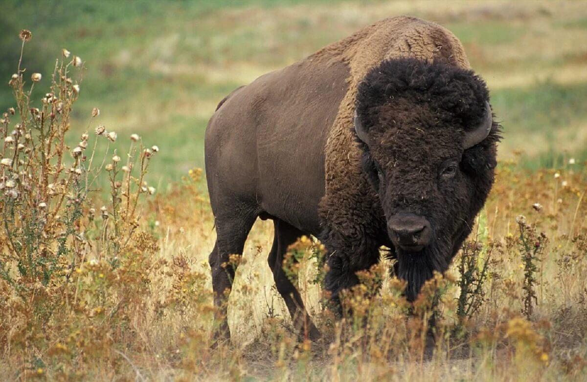 Afschot bizons in Grand Canyon trekt 45.000 vrijwilligers