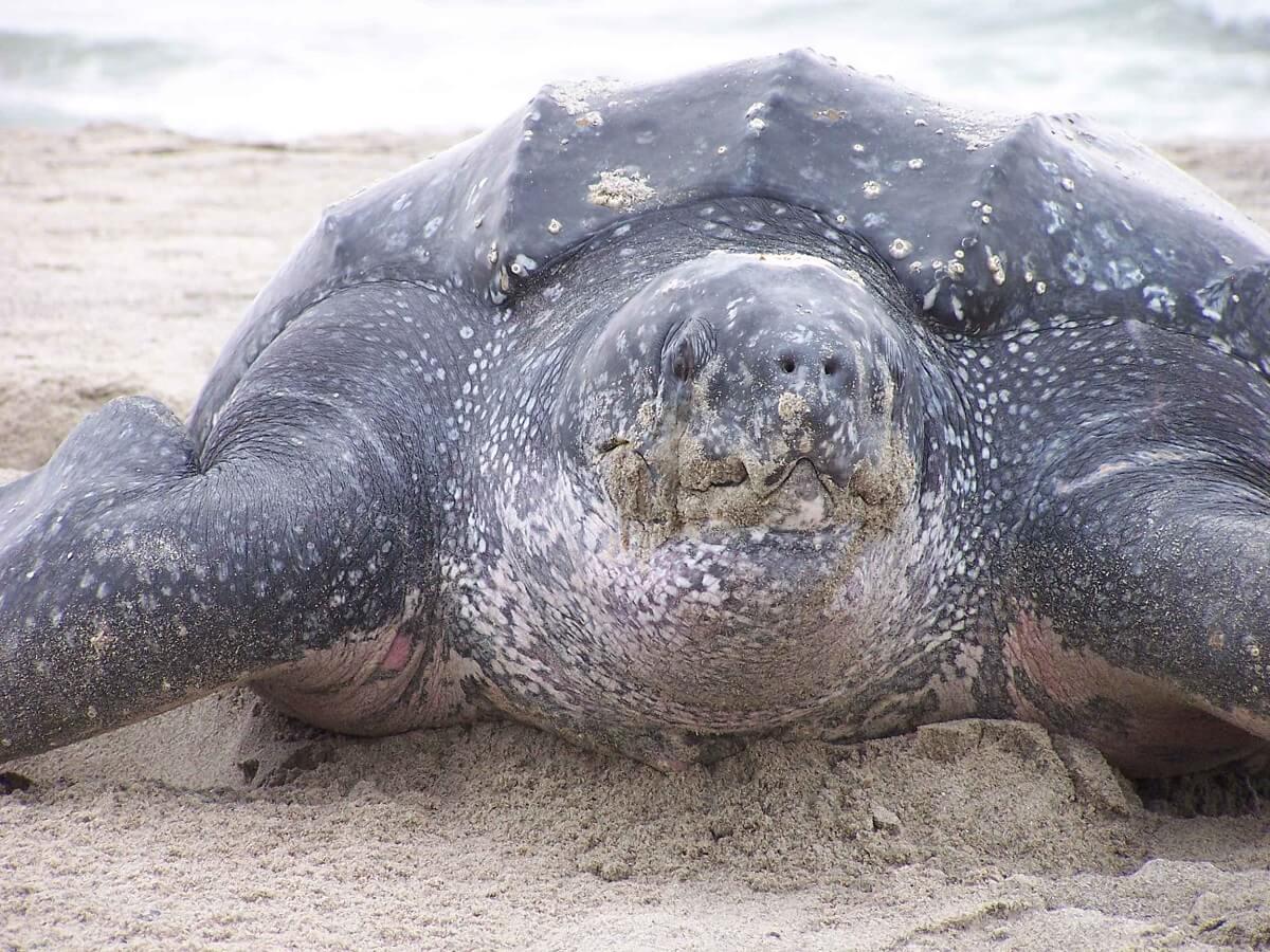 Tijd dringt voor lederschildpad in Stille Oceaan