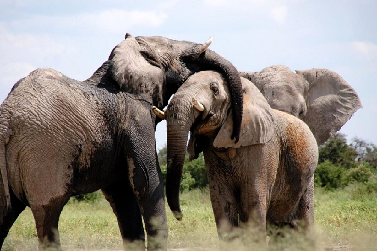 Database verklaart het gedrag van Afrikaanse olifanten
